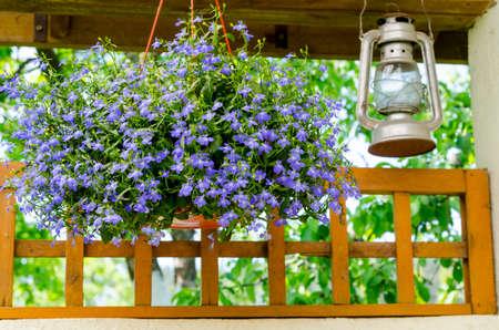 Blue lobelia in hanging pots. Studio Photo