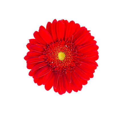 Red gerbera flower close up. Studio Photo