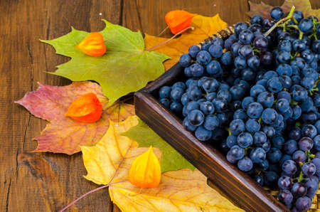 Ripe blue grapes, autumn concept, harvesting
