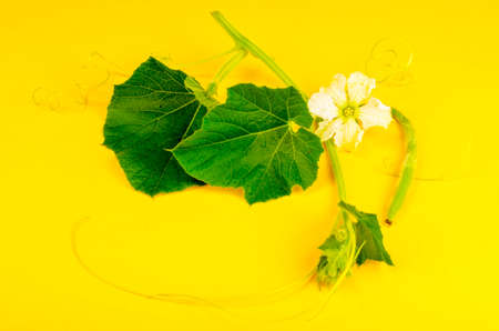 Green sprout Lagenaria with white flower