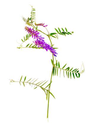 Medicinal plant Vicia cracca. Studio Photo Foto de archivo