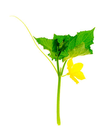 Cucumber shoot with green leaves and yellow flower.