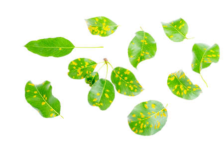 Rust on pear leaves, fruit plant disease. 版權商用圖片