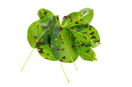Rust on pear leaves, fruit plant disease. Foto de archivo