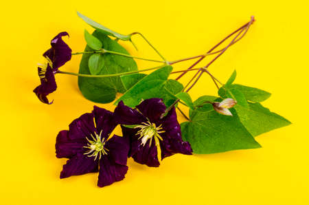 Flowers of purple clematis on bright color background. Archivio Fotografico
