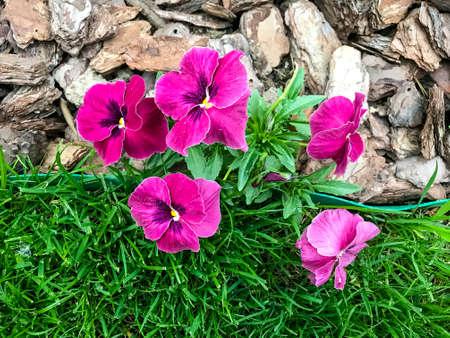 Viola tricoloor on decorative background in garden