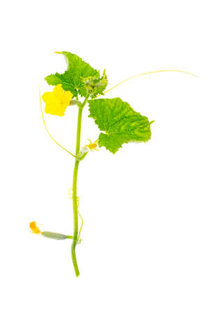 Young green shoot of cucumber with flower
