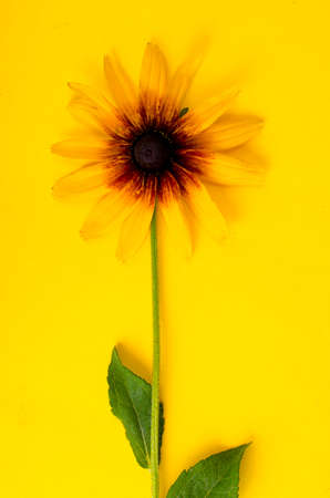 Yellow flower on bright paper background. Studio Photo