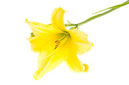 One yellow daylily flower. Studio Photo Stock Photo