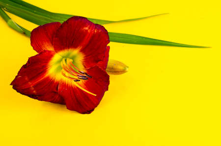 Beautiful daylily flower on bright background, space for text.