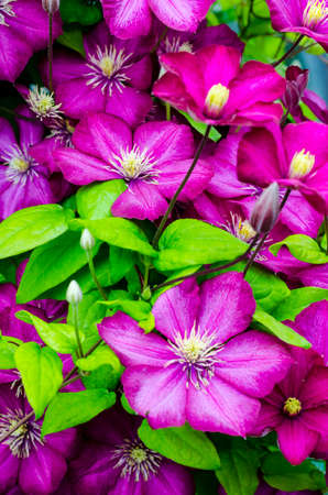 Beautiful blooming clematis bush with purple flowers and green leaves. Studio Photo