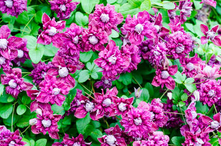 Beautiful blooming clematis bush with purple flowers and green leaves. Studio Photo Stock Photo - 129574291