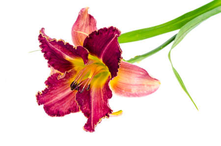 Pink daylily flower garden isolated on white. Studio Photo Banque d'images - 129574807