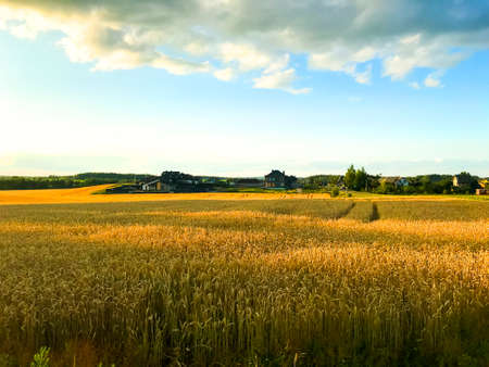 Spikes of rye on field in evening, sun. Studio Photo 스톡 콘텐츠