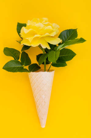 Yellow rose in cone on bright background. Studio Photo