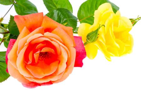 Fresh garden home roses. Studio Photo