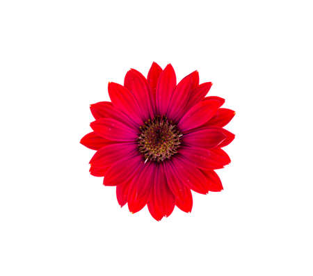 Red garden flower on white background. Studio Photo