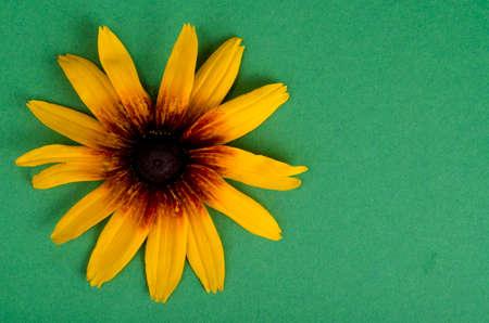 Yellow flower on bright paper background. Studio Photo