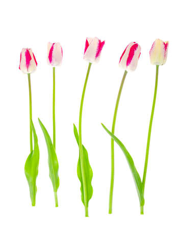 Pink and white motley tulips isolatedon white. Studio Photo Stock Photo