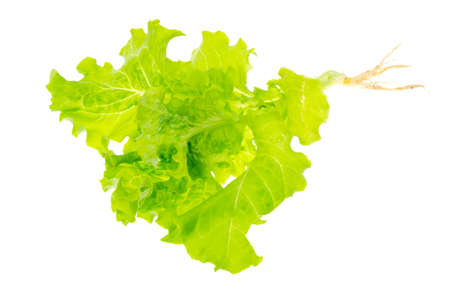 lettuce green leaves salad with roots with ground on white background. Studio Photo Stock Photo