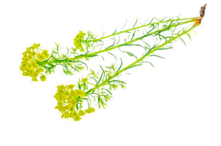 Wild field flower with yellow flowers isolated on white background. Studio Photo