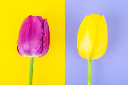 Buds of colorful tulips on bright background. Studio Photo