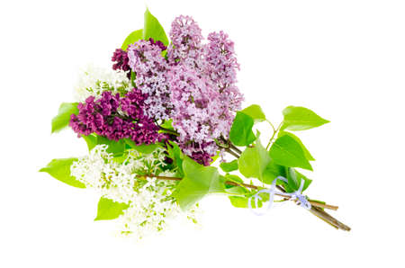 Fragrant branches of lilac isolated on white background. Studio Photo