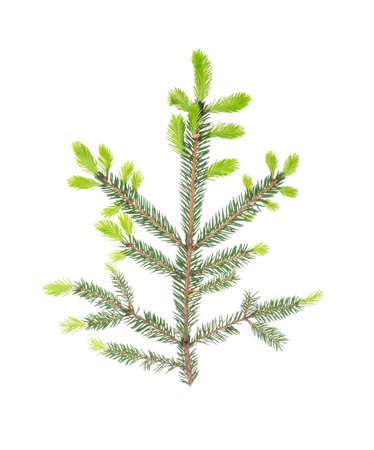 Spruce branch with light green young shoots on white background. Studio Photo
