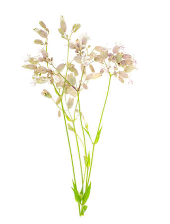 Wildflowers with original inflorescences isolated on white. Studio Photo Zdjęcie Seryjne