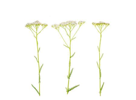 Stem with white inflorescence Achillea millefolium. Studio Photo Stok Fotoğraf - 151152393
