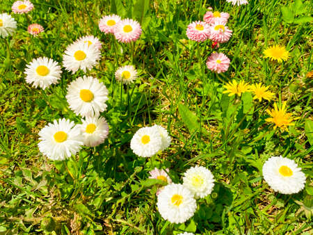 Small tender daisies on background of green grass on lawn. Studio Photo 스톡 콘텐츠