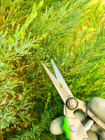 Garden care. Coniferous pruning, trimming Zdjęcie Seryjne
