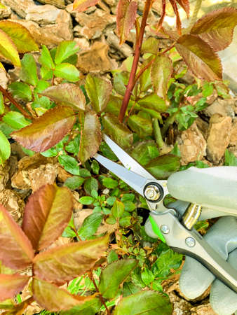 Pruning twigs of roses, care of flower garden.