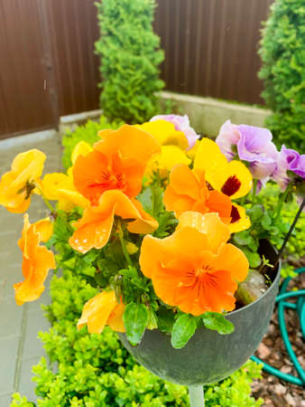Bright pansies grow in garden. Photo Studio
