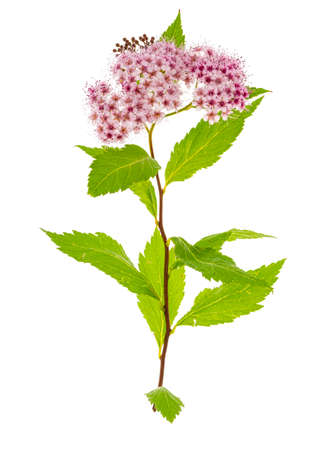 Spiraea japonica branch with pink inflorescence. Studio Photo