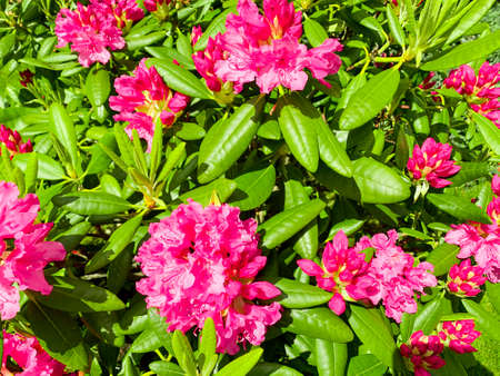 Rhododendron bush blooming with beautiful pink flowers.