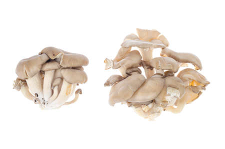Gray fresh oyster mushrooms isolated on white background. Studio Photo