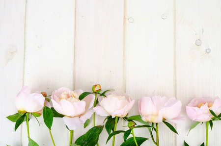 Delicious delicate pink peonies on white wooden surface. Studio Photo