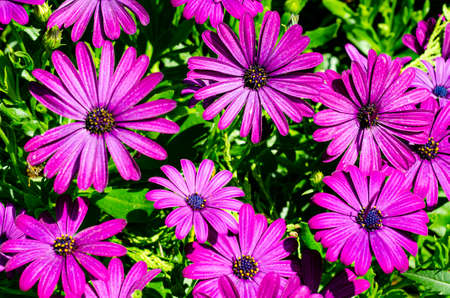 Floral background, wallpaper of purple daisy flowers