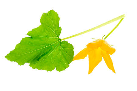 Green leaf and yellow flower of pumpkin, zucchini, squash on white background. Studio Photo Stockfoto