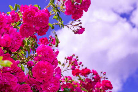 Bright pink rose flowers on bush against blue sky