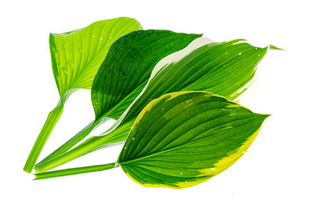 Green Hosta flowers and leaves. Studio Photo. Stockfoto
