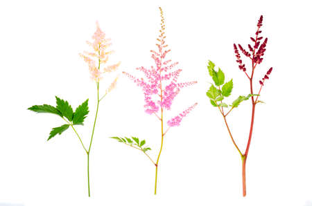 Colorful flowers and leaves of Astilbe. Studio Photo Stockfoto
