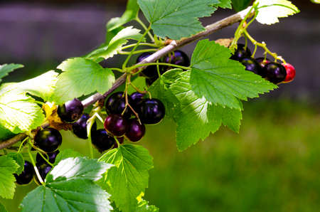 Blackcurrant berries ripen on bush growing outdoors.