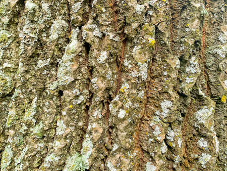 Old cracked wood bark texture, background close-up, natural pattern. Gray tree trunk Stockfoto