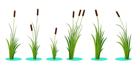Set of variety reeds with leaves on stem and lake water beneath. Reed plant. Flat vector illustration isolated on white background. Clip art for decorate cartoon and landscape Illusztráció