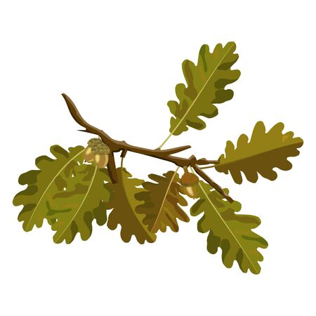 Oak tree branch with acorn and autumn oak leaves vector isolated on white