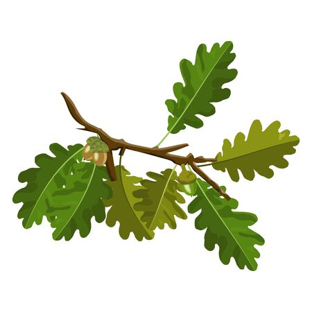 Oak tree branch with acorn and green oak leaves vector isolated on white