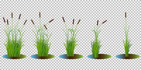 Vector set of reed stalk bushes in swamp water on transparent background