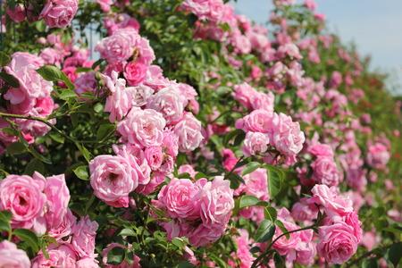 beautiful rose: rose bush Stock Photo
